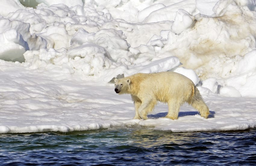 Melting ice means no rest for weary polar bears, New Study