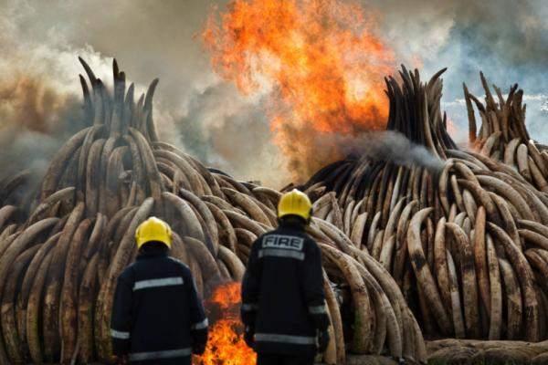 Kenya Burns Largest Ever Ivory Stockpile (Video)