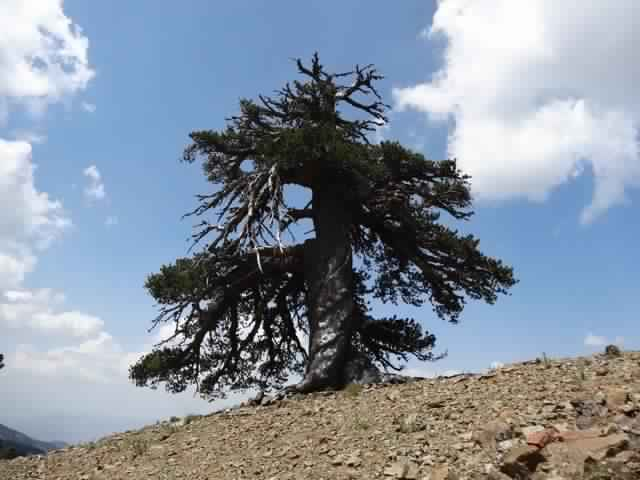 Adonis: Bosnian Pine in Greece is Europe's oldest living organism