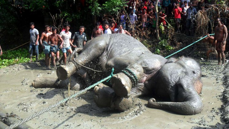 Flood-hit elephant that travelled 1700km dies in Bangladesh