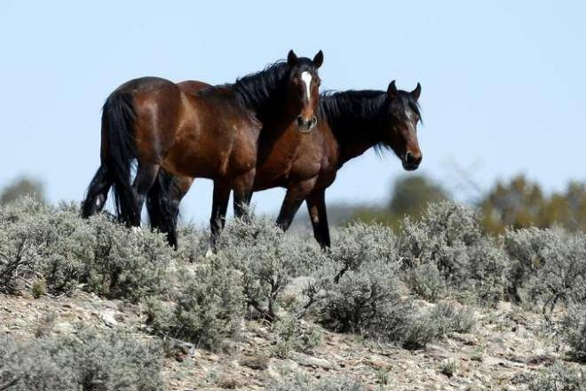 45000 Wild Horses To Be Killed By BLM