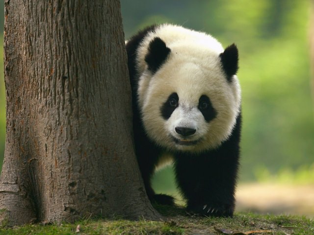 Giant panda taken off endangered species list, experts say