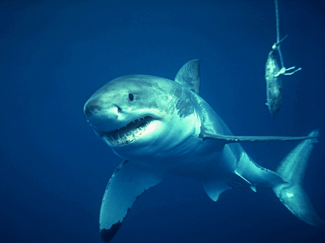 Larger sea animals at higher extinction risk, says new research