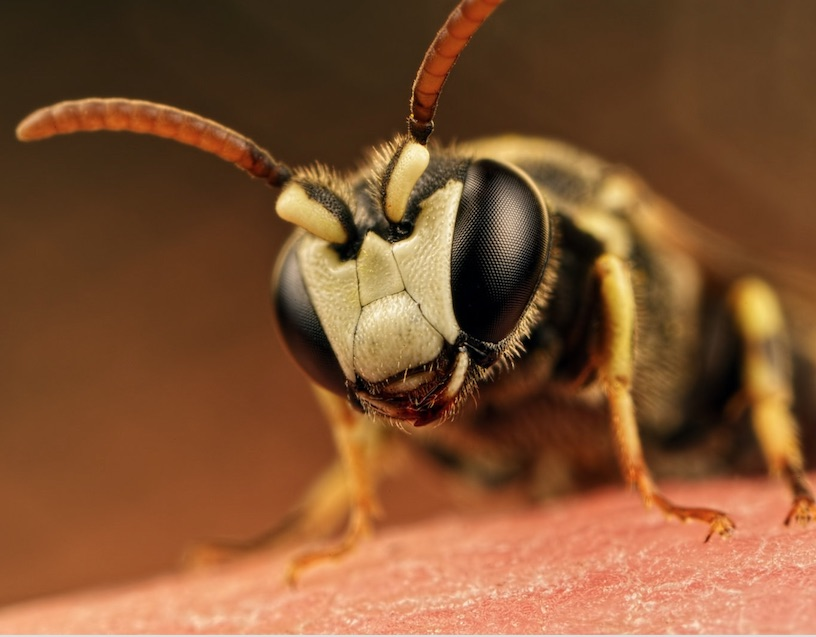 Hawaii Yellow-Faced Bees Declared Endangered in the US