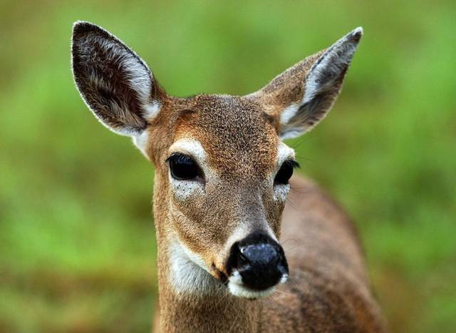 Screwworm infestation a 'grave threat' to deer population in Florida Keys