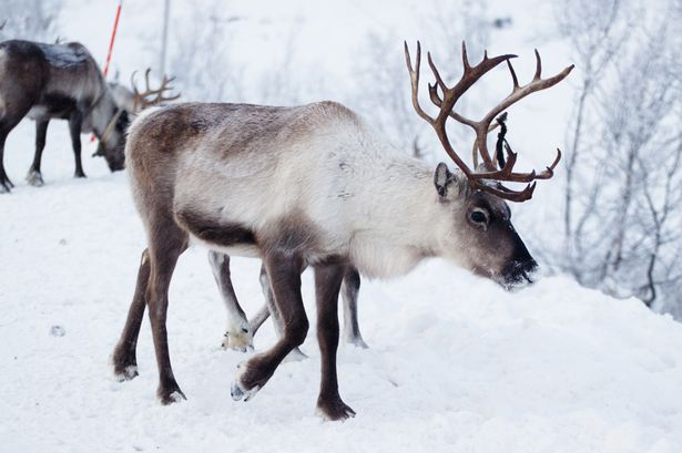 80,000 Reindeer Reported Dead: Starvation killed reindeer after unusual Arctic rains cut off the animals' food supply