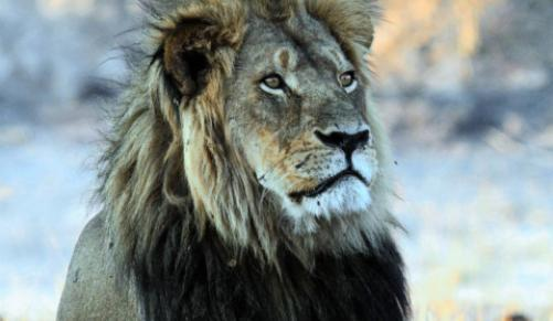 Cecil The Lion: Charges dropped against Cecil's hunter, Report