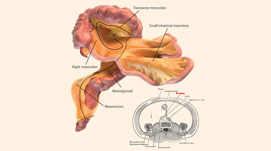New human organ? Doctors discover new organ called mesentery in human body