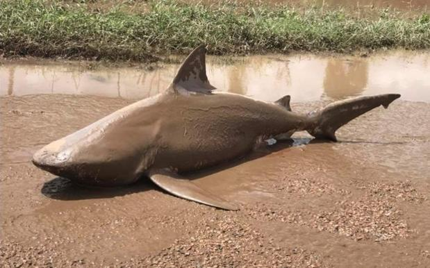 Shark Washed Up On Road In Ayr, Queensland (Watch)