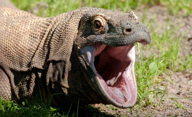 Komodo dragon attacks tourist in East Nusa Tenggara, Indonesia