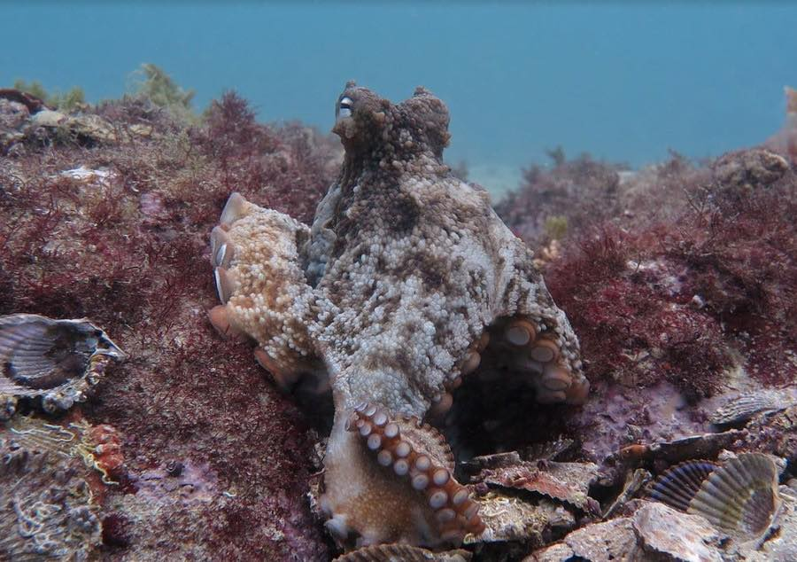 Octopus City Found In Australia (Picture)