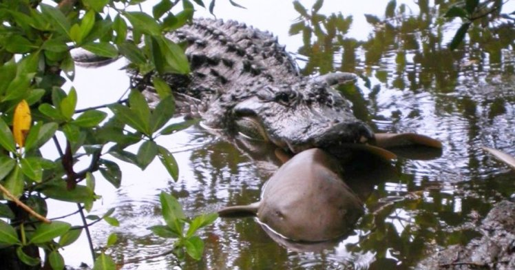 Alligators eat sharks, scientists find (and there's pictures to prove it)