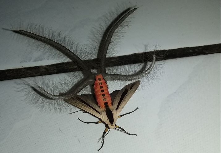 Bizarre tentacled insect pictured in Indonesia (Video)
