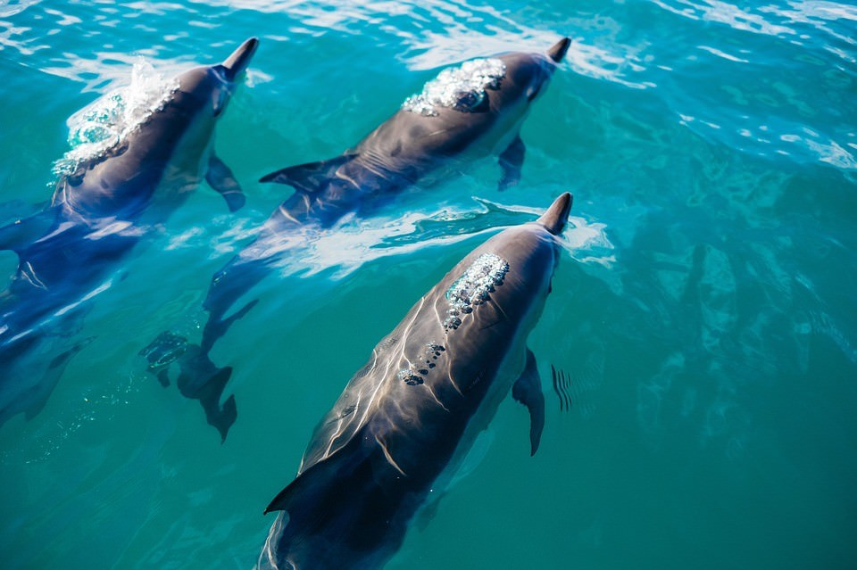 Dolphins could take over the planet…if they had thumbs, researchers say