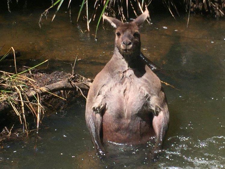 Kangaroo Bathing in Creek? Enormous kangaroo has the beach body of your dreams