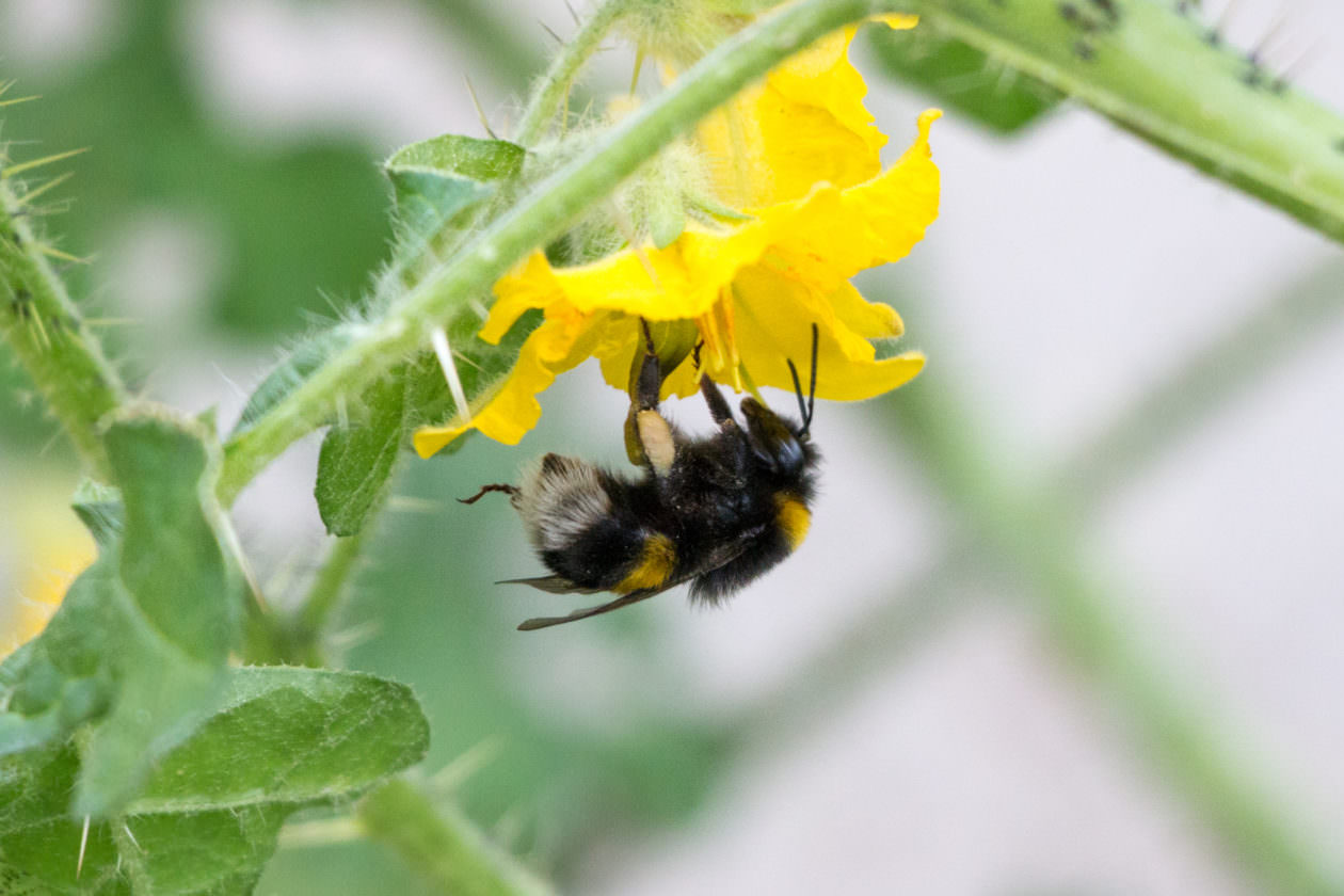 Buzzing of bees 'being weakened by pesticides', says new research