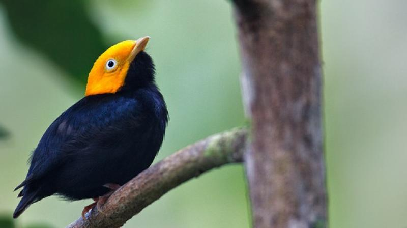 Golden-crowned manakins are 'exceedingly rare' hybrid, finds new research