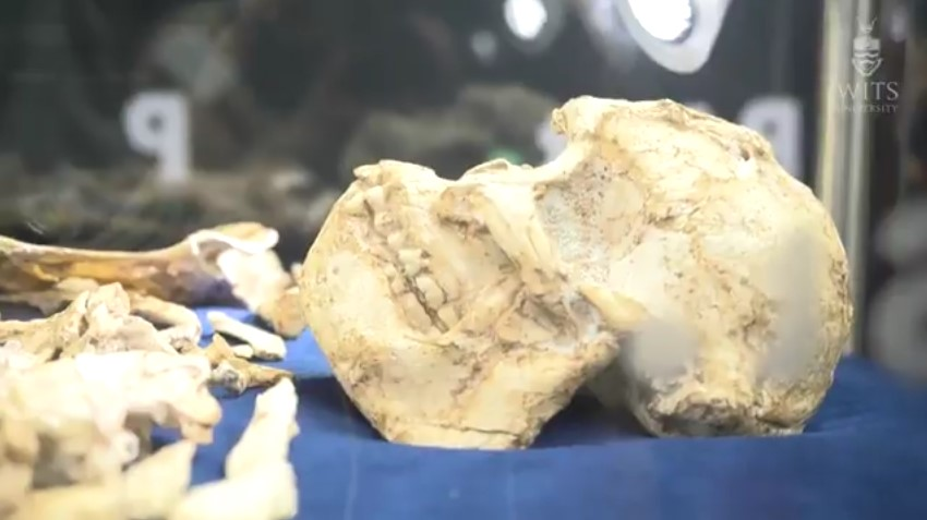 Little Foot Skeleton Unveiled After 20 years