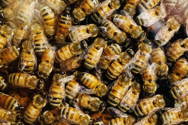 Lowa boys 'kill half a million bees'
