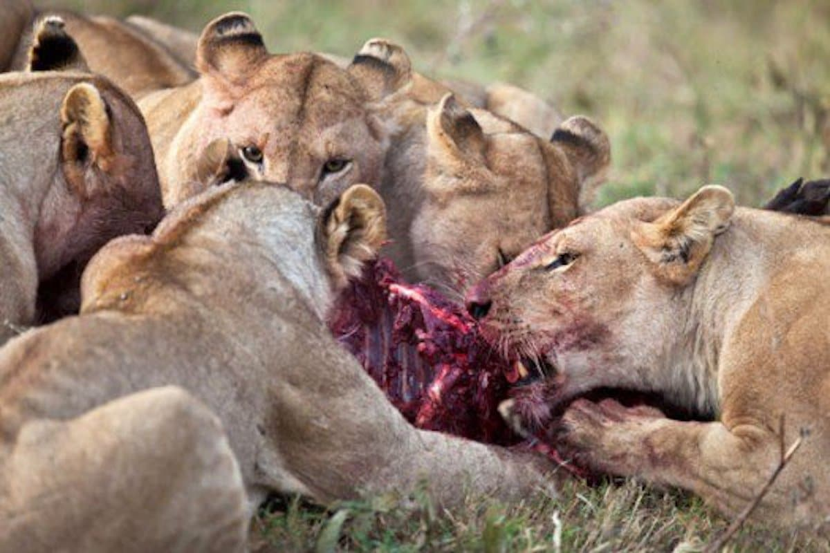 Lions eat poacher, leave only head