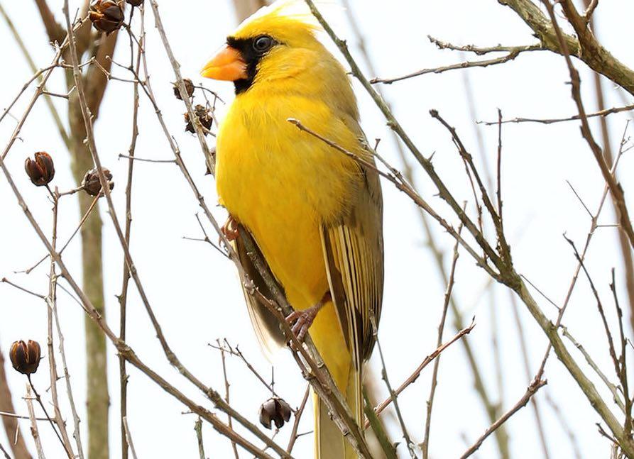 'One in a Million' Yellow Cardinal Seen in U.S. Backyard (Watch)