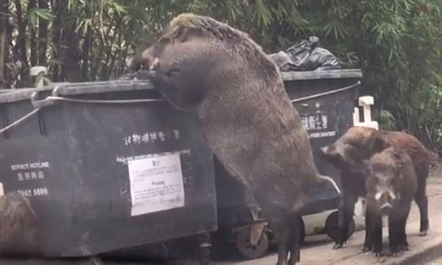 Wild Boar eat from garbage bin near school (Watch)