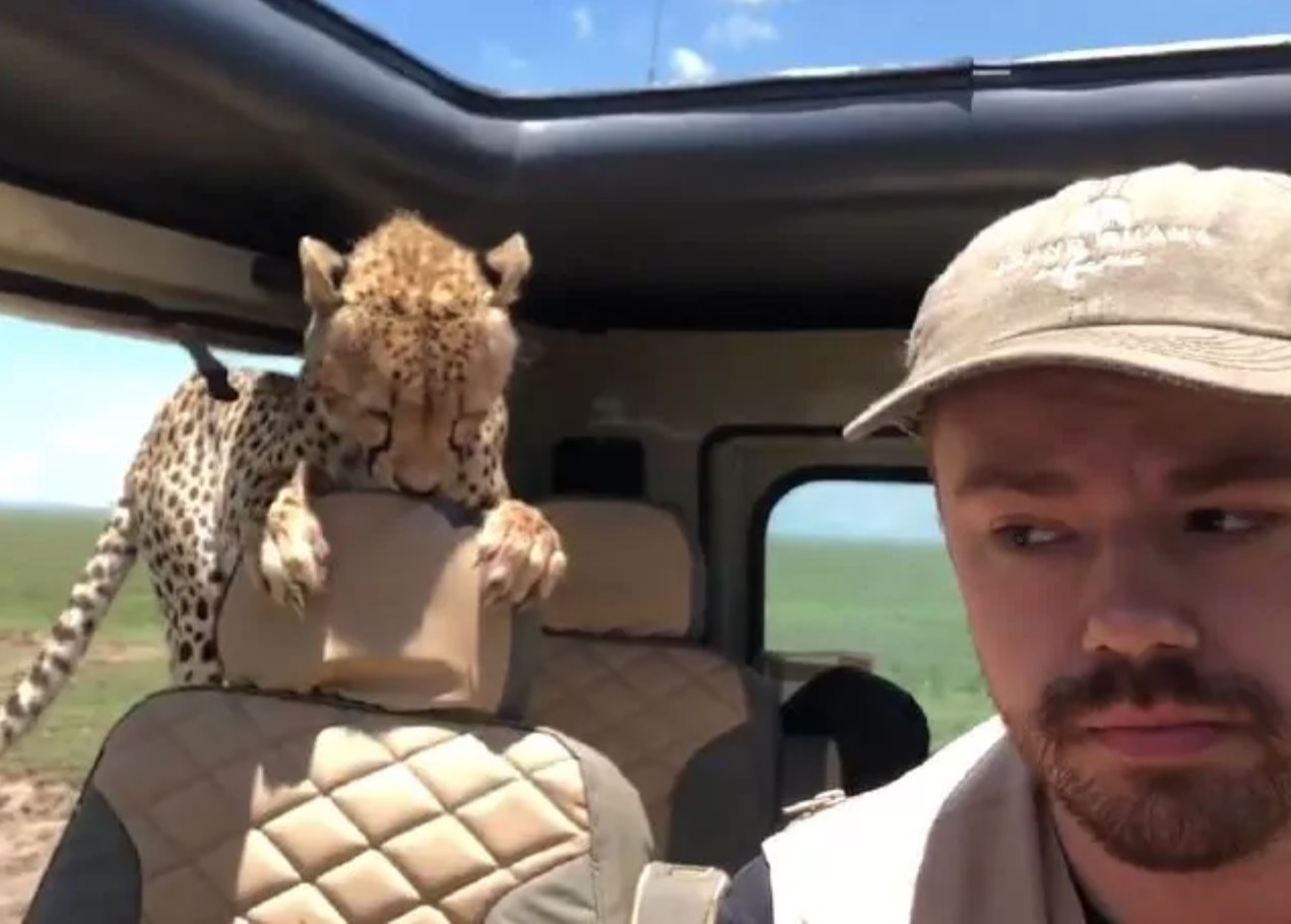 Cheetah jumps into safari car (Watch)