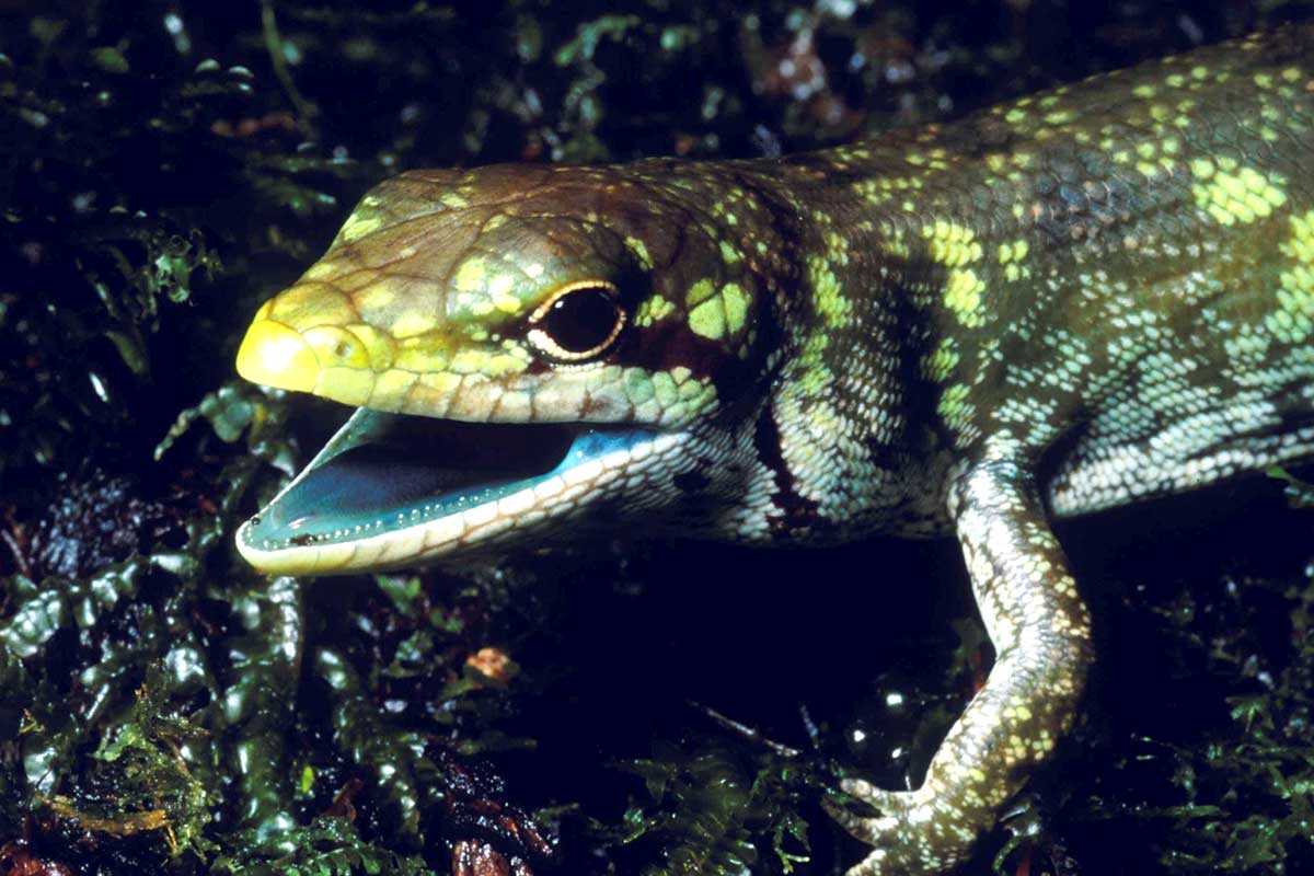 Green-blooded Lizards Evolved Four Times (Study)