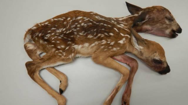 Two-headed deer discovered in Minnesota displays rare deformity