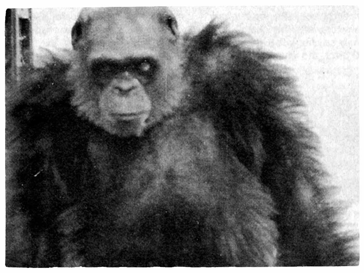 Ghost species of chimpanzees found hidden in bonobo's genome