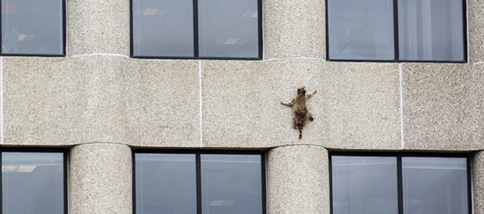 Raccoon scales minnesota building, captivating the public (Photo)