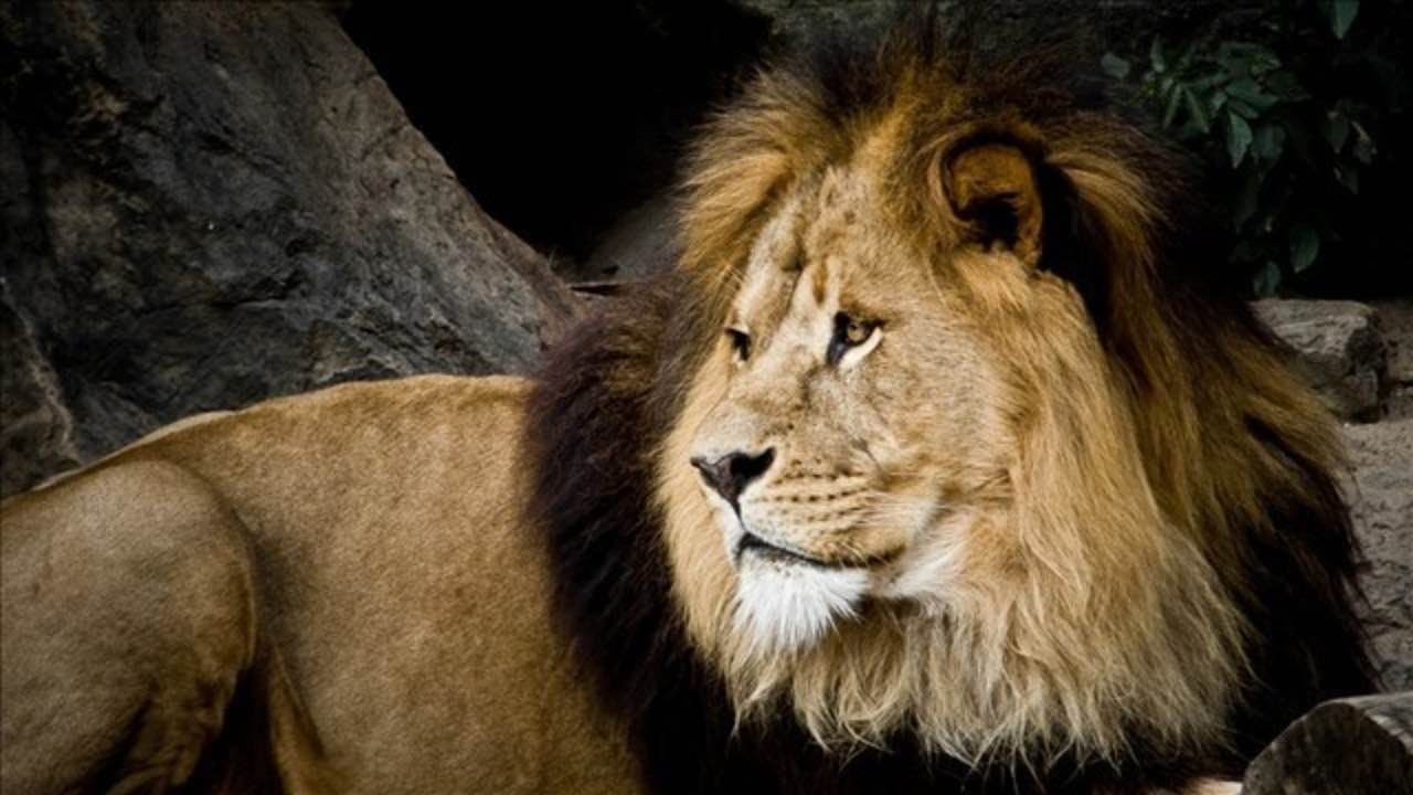 Lions Kill Rhino Poachers On Game Reserve