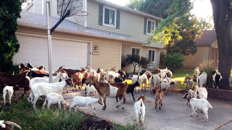 Escaped goats invading Boise neighborhood (Watch)