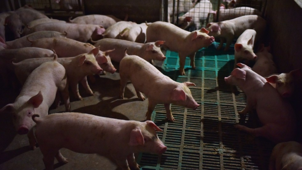 African swine fever worldwide: kills 80 pigs and 379 culled