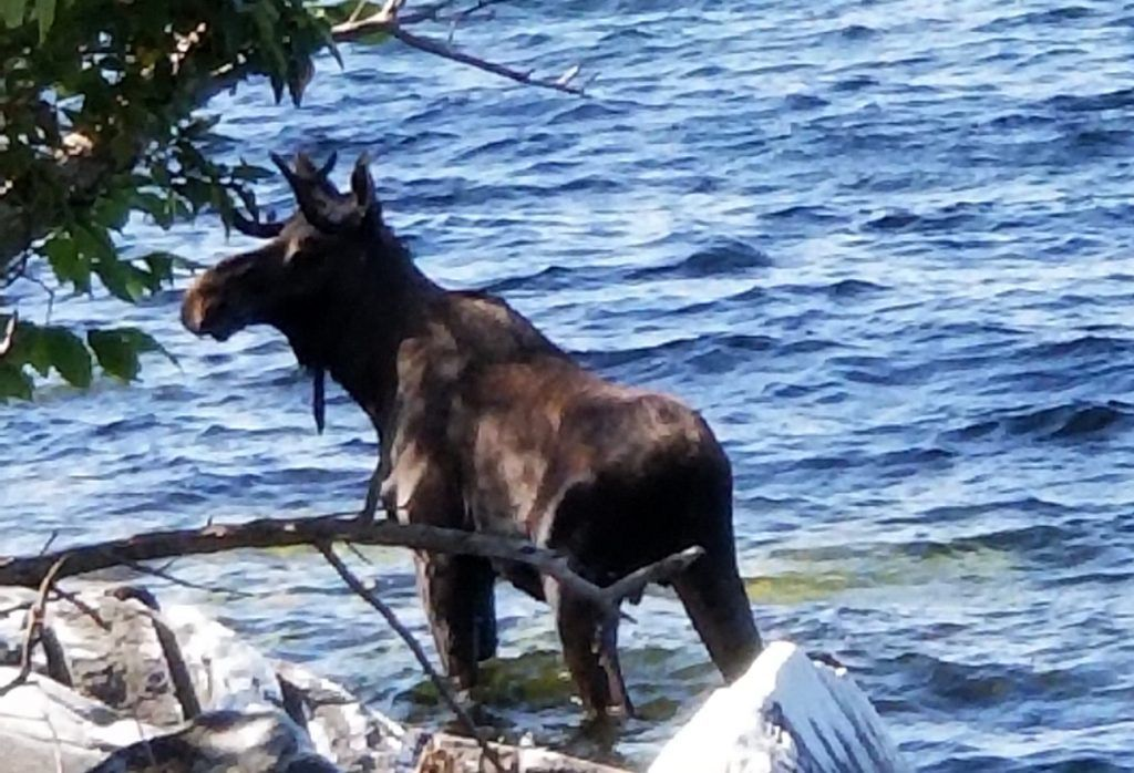 Moose Drowns in lake After Being Scared by People Taking Pictures