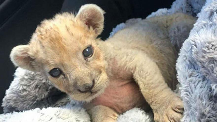 Lion cub in garage, a day after another is found in Paris (Reports)