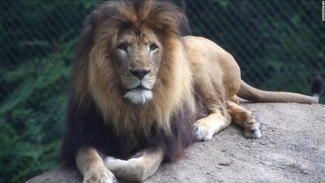 Lioness In Indianapolis Zoo kills father of her three cubs