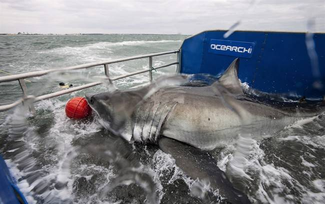Shark breakthrough: Nova Scotia this fall on a hunch