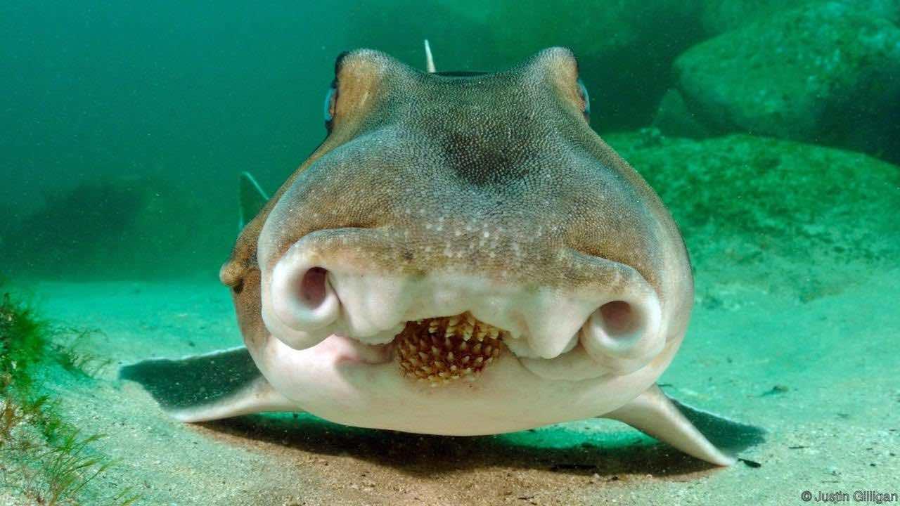 Hammerhead shark nursery observed off the west coast