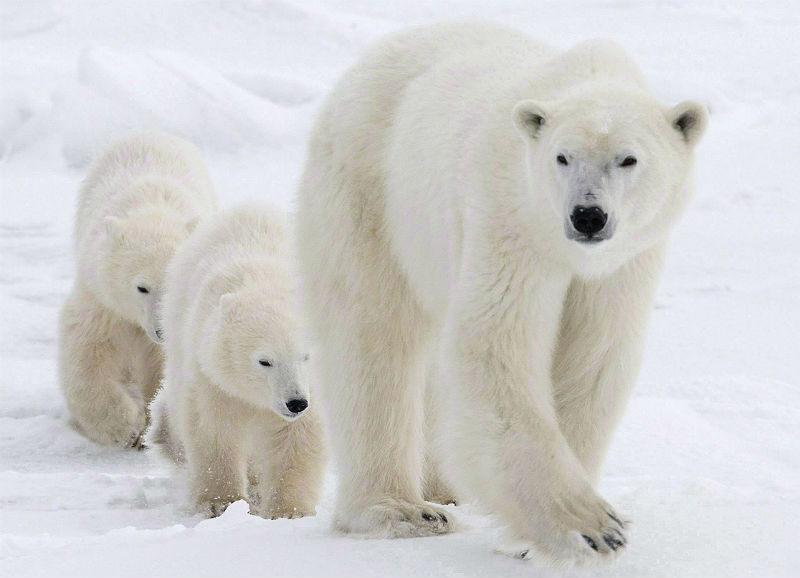 Nunavut Polar bears pose threat to Inuit, controversial report says