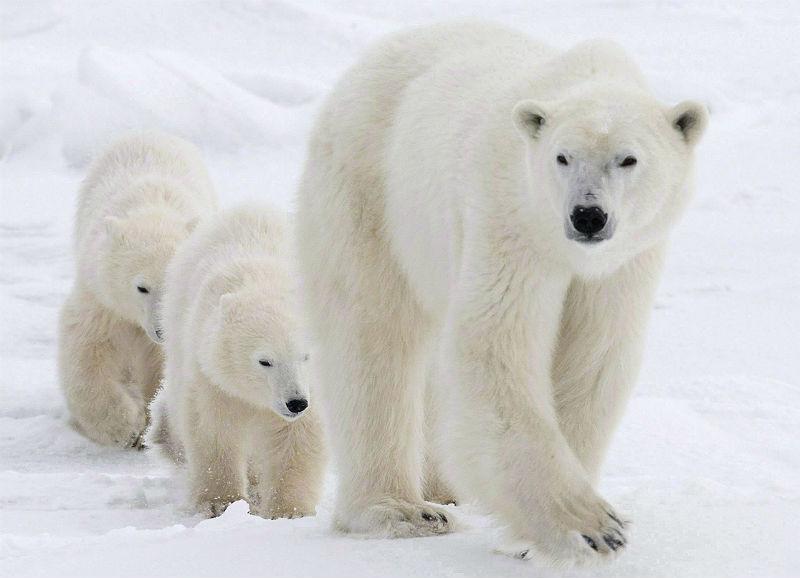 Nunavut Polar bears pose threat to Inuit, controversial report says