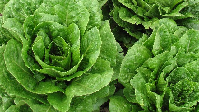 Romaine lettuce is safe to eat, but look for labels