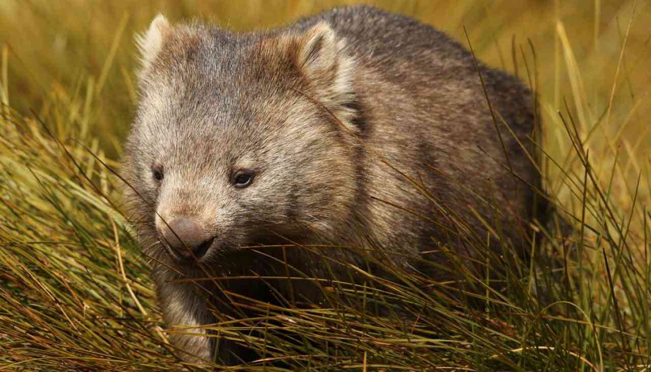 Wombat mystery solved: Georgia Scientists Solve Its Pooping Mystery