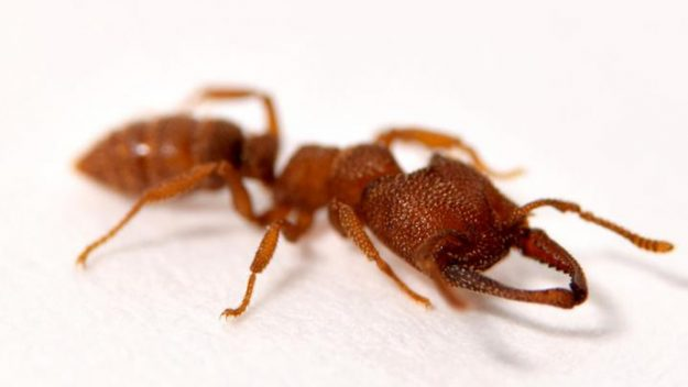 Ant fastest animal? its killer jaws are nature's fastest at 320km/h