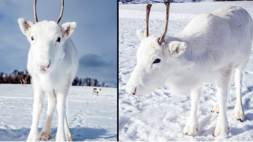Rare white reindeer calf spotted on camera in Norway (Photo)