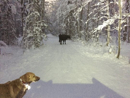 Anchorage escaped cow: six months ago is still on the run
