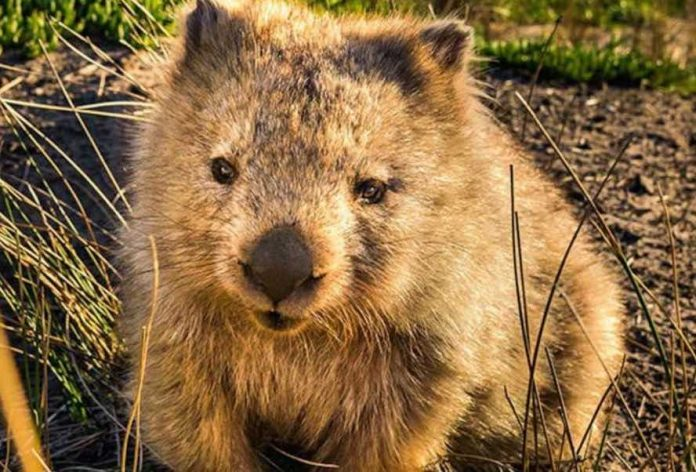 "Australia wombat selfies, visitors asking them to not ""chase"""