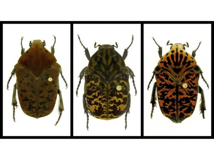 Beetle species named for 'Game of Thrones' dragons (Reports)