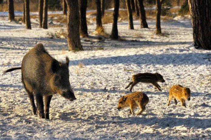 EU OKs Poland's wild boar slaughter to fight swine disease, Report