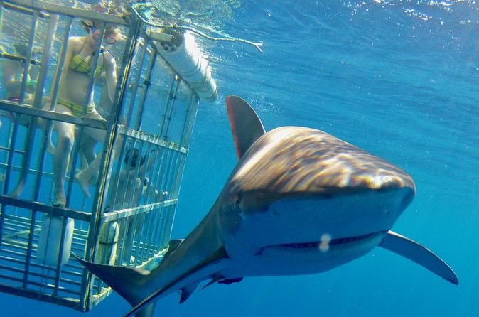 Hawaii great white shark thrills divers off Oahu